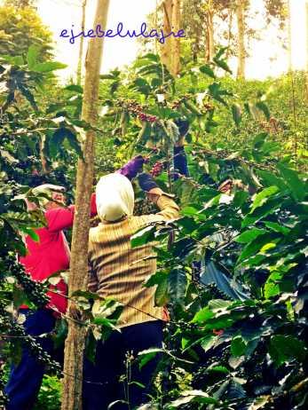 Ibu-ibu pengumpul kopi (doc pribadi)