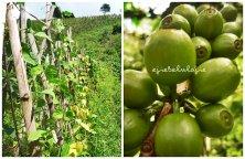 Ladang kacang merah dan kebun kopi. (doc pribadi)