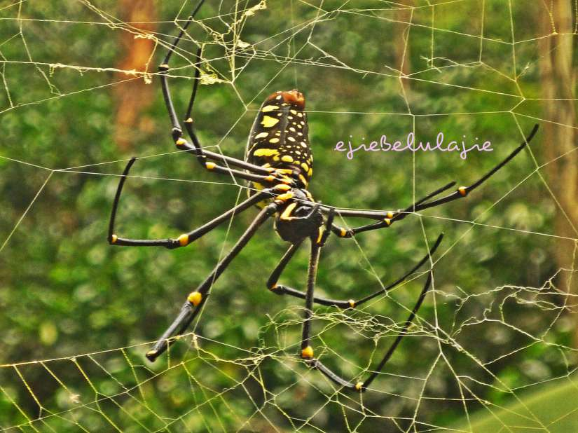 Laba-laba cantik yang bertengger di dekat pohon pisang di kebun kopi. (doc pribadi)