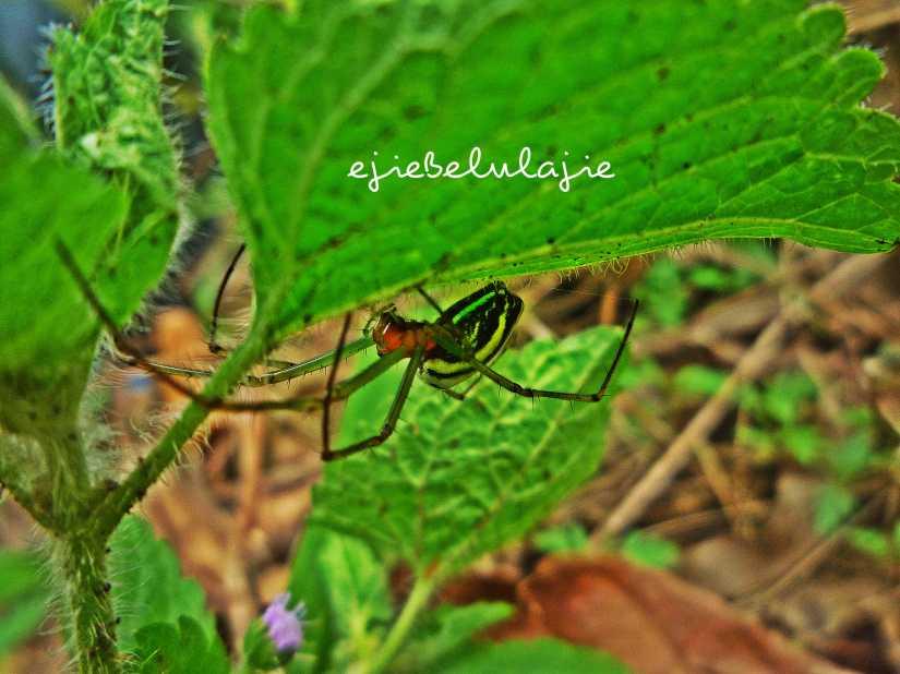 Aneka jenis laba-laba, Ejie temukan di gunung ini. Warnanya pun bagus-bagus. (doc pribadi)