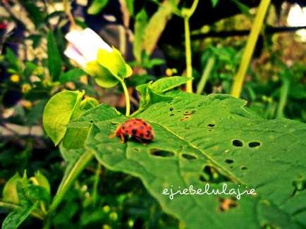 Kumbang orange ini, dia diam saja kufoto berkali-kali. (doc pribadi)