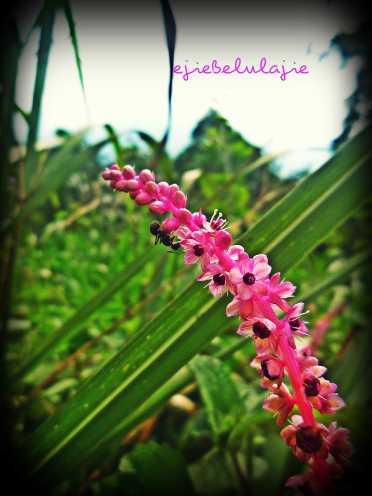 Ketemu semut hitam di bunga ini, Lucu ya? (doc pribadi)