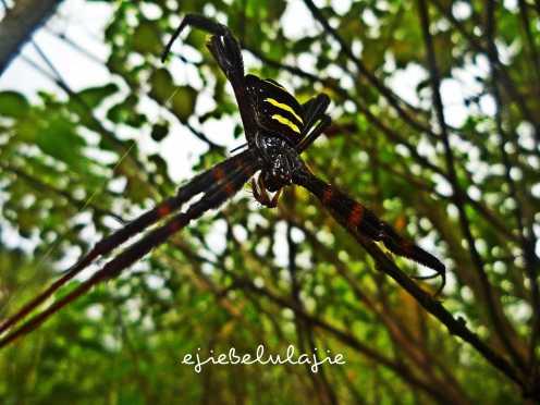 Laba-laba dengan corak lain yang menutupi jalan. (doc pribadi)