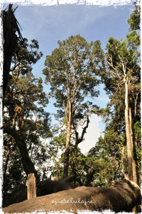 Pohonnya tinggi-tinggi dan batang pohonnya besar serta langit biru yang cerah. Suka suasananya. (doc pribadi)