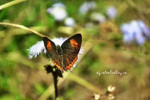 Si kupu-kupu cantik yang motonya nahan nafas karena capek ngejerin! Bhahaaaa... (doc pribadi)