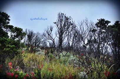 Padang cantigi yang terselip edelweiss atau sebaliknya? :D Bingung saya (doc pribadi)