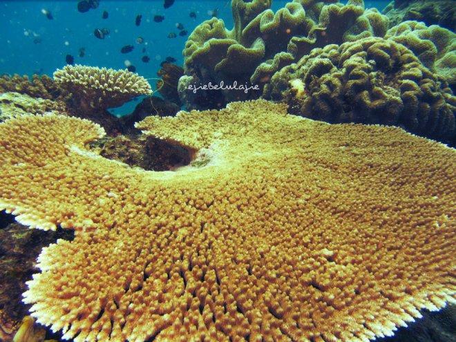 Hamparan elok terumbu karang (doc Kak Agus, Palembang)