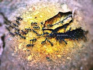 Barisan semut (doc pribadi)