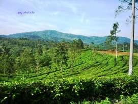 Kebun teh yang apik ditambah warna langit yang ceria ;) Pas banget kan? (doc pribadi)