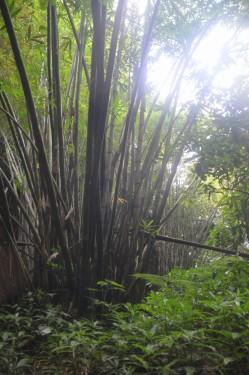 Pohon bambu yang ada disekitar pintu keluar. (doc pribadi)