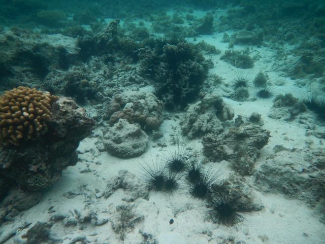 Bulu babi di spot snorkeling pertama. (doc by Catur backpangineer.com)