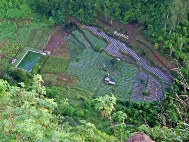 It's green fields rice (doc pribadi)