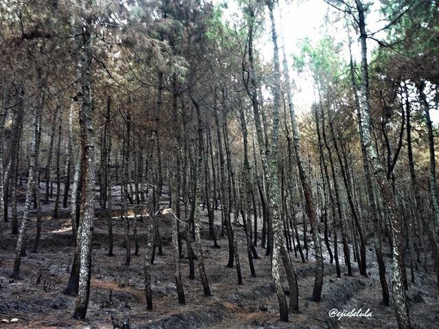 Pinus gosong (doc pribadi)