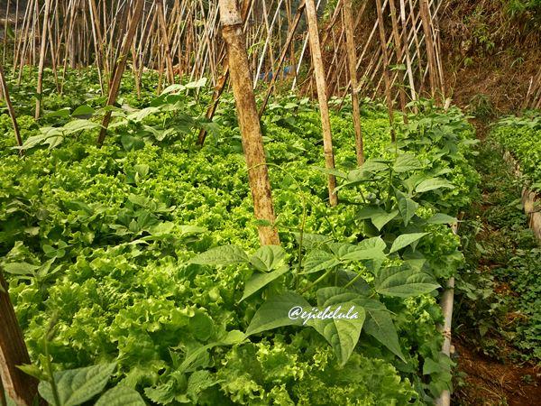 Kebun sayur. LAPAR sayur! (doc pribadi)