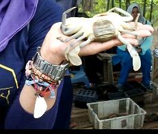 Kepiting betina dengan telur dibalik badannya. Doc d_ujha