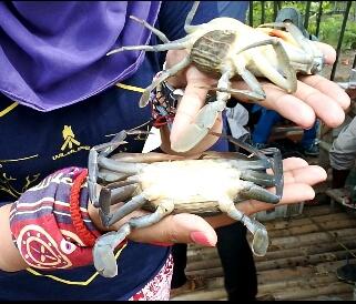 Kepiting yang baru saja berganti cangkang, kondisinya masih terlihat lemah. Doc by d_ujha