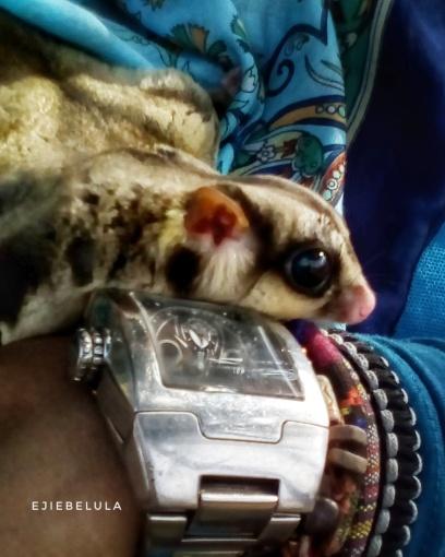 Sugar Glider, si imut dari Papua Doc pribadi